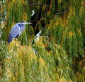 Free Great Blue Heron In A Tree Stock Photography - 16985332