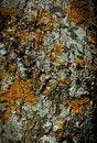 Free Moss Bark Wooden Texture Royalty Free Stock Photos - 16989348