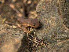 Rough Skinned Newt Stock Image