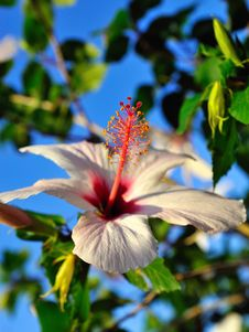 Free Beautiful Wild White Hibiscus Flower Outdoors Royalty Free Stock Photos - 16982298