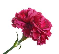 Free Red Carnation Isolated Royalty Free Stock Photography - 16985207