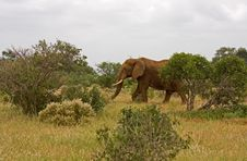 Free African Elefant Stock Images - 16985344