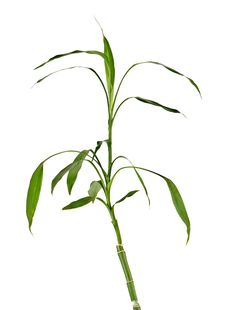 Free Lucky Bamboo Royalty Free Stock Images - 16985359
