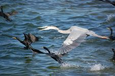 Free Great Blue Heron Stock Photos - 16985753