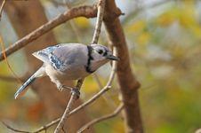 Blue Jay, Cyanocitta Cristata Royalty Free Stock Images
