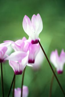Free Beautiful Pink Cyclamen Flowers Stock Photos - 16986233