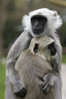 Free Monkey Mother With Baby Stock Photos - 16986323