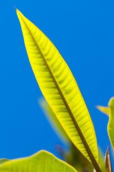 Free Frangipani Leave Stock Images - 16986424