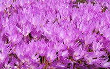 Free Flowerbed With Violet Colour Crocus Royalty Free Stock Photo - 16987305