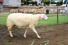 Free Sheep In The Farm Stock Photography - 16987332