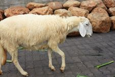 Free Sheep In The Farm Stock Photography - 16987472