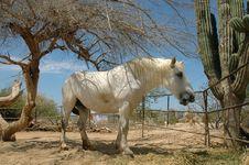 Free White Draft Horse Royalty Free Stock Image - 16989016