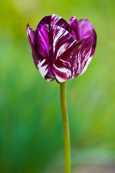 Close-up Of Tulip In The Field Royalty Free Stock Image