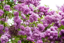 Free Bunch Of Violet Lilac Stock Photography - 16989542