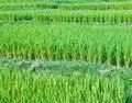 Free Green Paddy Rice Stock Photo - 16997400