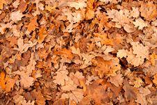 Free Oak Leaves Background Stock Photography - 16990822