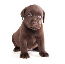 Free Labrador Puppy Stock Photography - 16991092