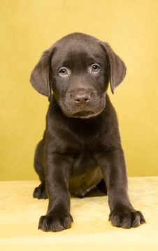 Free Labrador Puppy Royalty Free Stock Photography - 16991287