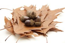 Free Dry Leaves With Acorns Stock Photography - 16991462