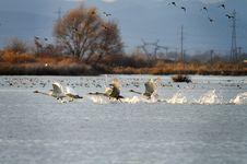 Free Swan Royalty Free Stock Image - 16991496