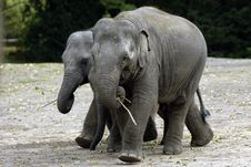 Free Two Baby Elephants Royalty Free Stock Photos - 16992198