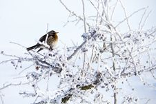 Free Small Bird On Hawthorn In Cold Winter Stock Photo - 16992480