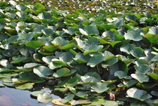 Free Water Lilies Royalty Free Stock Photos - 16992678