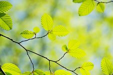 Free Green Leaves Royalty Free Stock Image - 16993026