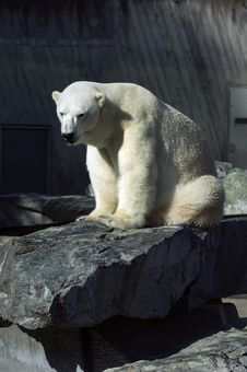 Free Polar Bear Royalty Free Stock Photos - 16993808