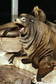 Free Sea Lion Royalty Free Stock Image - 16993876