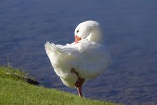 Preening By The Lake Royalty Free Stock Image