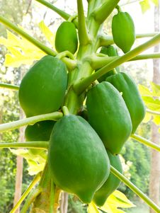 Green Papaya On Papaya Tree Stock Image