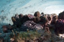 White Spotted Moray Stock Images