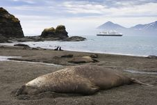 Free Adult Elephant Seal In South Georgia Royalty Free Stock Images - 16998729