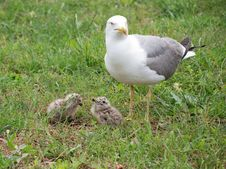 Free Family Of Seagulls Stock Image - 16998961