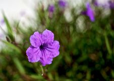 Free Purple Flower Royalty Free Stock Images - 16999439