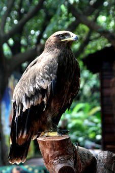 Free Hawk Royalty Free Stock Image - 16999626