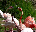 Free Flamingos Kiss Stock Photography - 171972