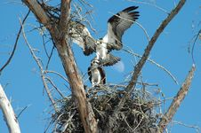 Free Osprey S Mating Under Moon Royalty Free Stock Photography - 171307