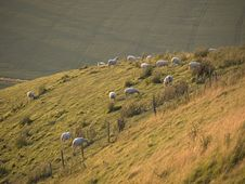 Hillside Sheep Royalty Free Stock Image