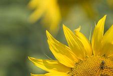 Free Sunflower Close-up Royalty Free Stock Image - 172736