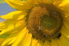 Free Sunflower Close-up Royalty Free Stock Photography - 172747