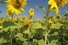 Free Sunflower Field Royalty Free Stock Photo - 172755