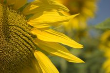 Free Sunflower Close-up Stock Photos - 172783