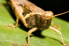 Free Grasshopper Royalty Free Stock Image - 173956