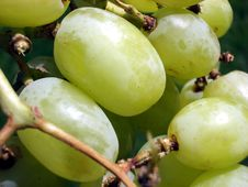 Free Grape 6 Stock Photos - 174313