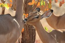 Free Kissing Impala Royalty Free Stock Images - 175389