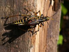 Free Grasshoppers Mating Stock Images - 175904