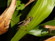 Free Swamp Grasshopper Hopping Royalty Free Stock Photo - 175905