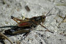 Free Giant Grasshopper Royalty Free Stock Photos - 176968